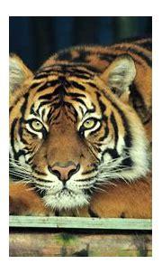 Sumatran Tiger Wallpapers - Wallpaper Cave