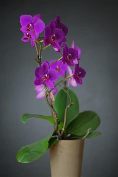 soigner une orchidee en pot comment soigner une orchidee en pot 28 images pot orchidee comment soigner les orchid 233