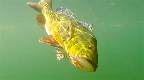bass peacock water fishing florida ike teaser going clear giant
