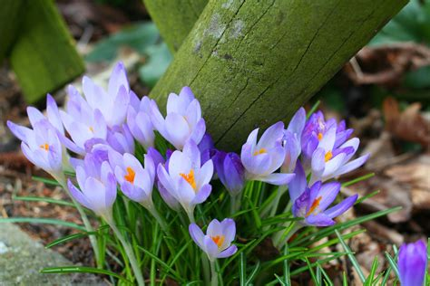 crocus pictures spring is just around the corner oliver winery blog