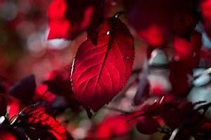 Baum Mit Roten Blättern : blutbuchen bl tter merkmale f rbungen und mehr ~ Eleganceandgraceweddings.com Haus und Dekorationen