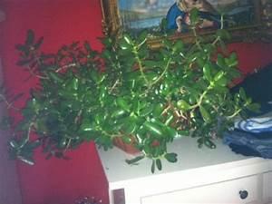 Chinesischer Geldbaum Kaufen : gro er geldbaum pflanze zimmerpflanze in n rnberg ~ Michelbontemps.com Haus und Dekorationen