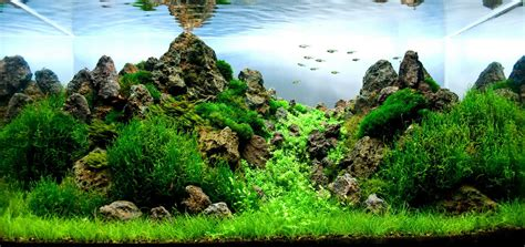Aquascape Tank For Sale by Manten Information Where To Buy Cherry Shrimp