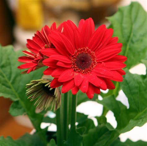 gerbera african daisy transvaal daisy barberton daisy