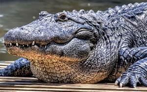 Alligator Wallpaper Background