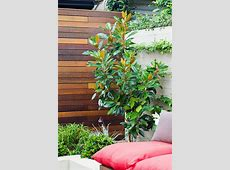 Magnolia Little Gem Burke's Backyard