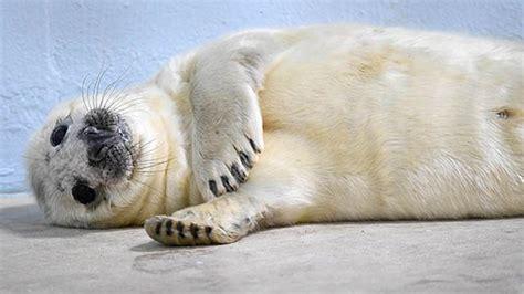 Photos Gray Seal Pup Born At Brookfield Zoo Abc7chicagocom