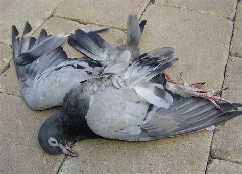 Uccello Simile Al Gabbiano - piccione nonciclopedia fandom powered by wikia