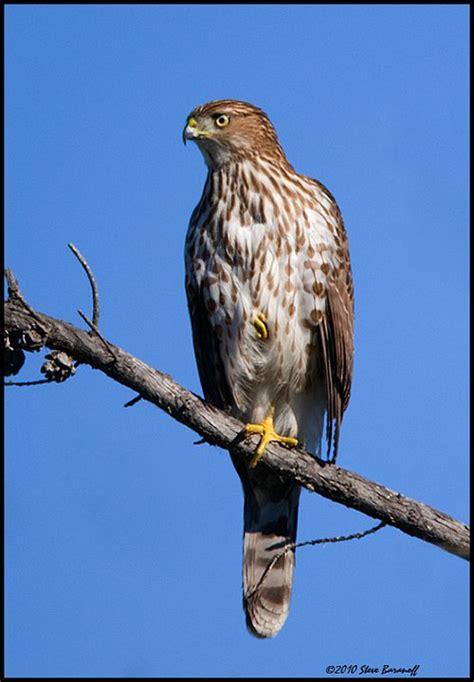 best 28 hawks in california cooper s hawk bolsa chica