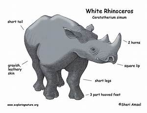 Rhinoceros  White