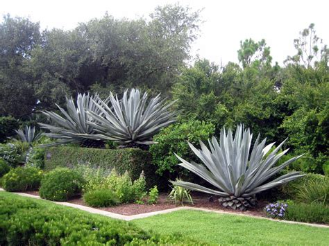 agave garden growing agave information on agave plant care