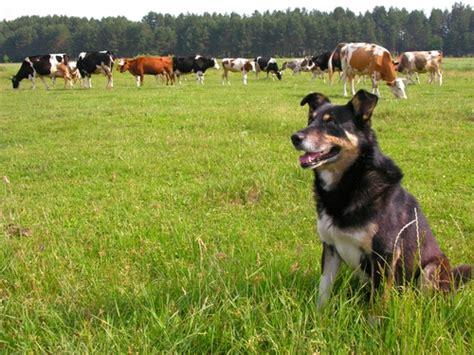 adopting  working dog