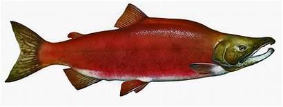 Salmon Fish Sockeye Nerka Oncorhynchus Knepp Timothy