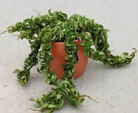 Hoya Hindu Rope Plant Care