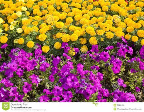 yellow marigolds  violet petunia royalty  stock