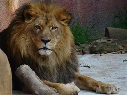 Zoo Angeles Los California Lion Park Griffith