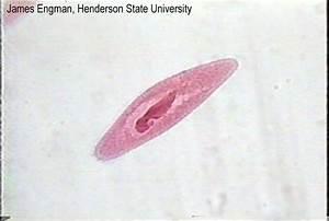 Paramecium Under Microscope 400x Labeled