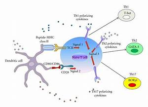 Linking Innate And Adaptive Immune System  Dendritic Cells