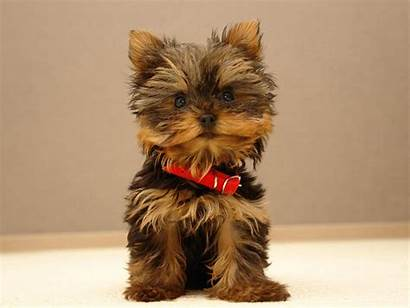 Yorkshire Terrier Breeds Breed Guide