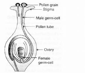 Draw The Diagram Showing Germination Of Pollen On Stigma