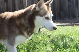 Alaskan Klee Kai Breed Information, Alaskan Klee Kai ...