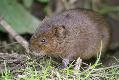 what is a vole vole related keywords vole long tail keywords keywordsking