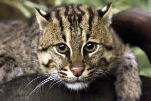 fishing cat successful fixed time artificial insemination in the