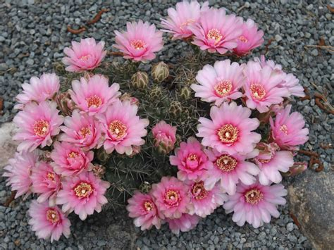 How to Grow and Care for Gymnocalycium   World of Succulents