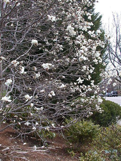 magnolias trees types magnolia tree pictures photos info on the magnolia tree species