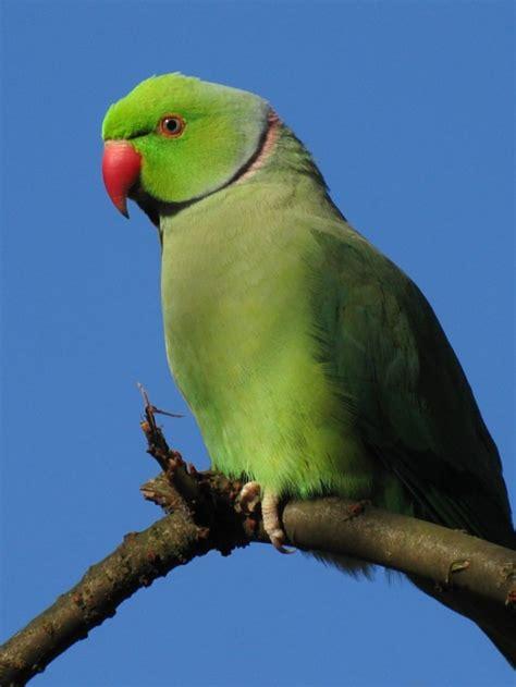 pet parrot pet parrot trade killing millions of birds india s endangered