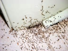 Black Ant Infestation In Kitchen tiny little black ants everywhere what should i do pro