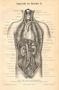 Diagram Of Abdominal Organs