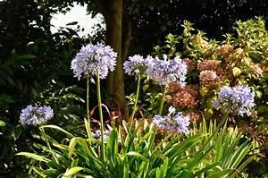 Schmucklilie überwintern Gelbe Blätter : schmucklilie berwintern bl tter abschneiden agapanthus ~ Eleganceandgraceweddings.com Haus und Dekorationen