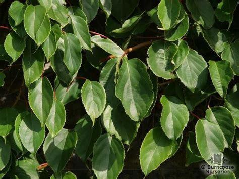 actinidia from burncoose nurseries