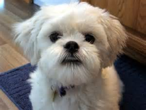 lhasa apso small dog breed breeds of small dogs best
