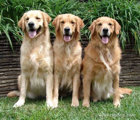 10 facts about golden retrievers 10 interesting golden retriever facts my interesting facts