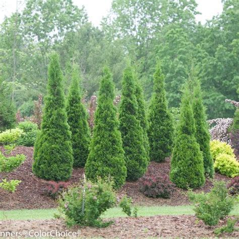 best trees for coverage 17 best images about evergreen shrubs for background and screens on pinterest taxus baccata