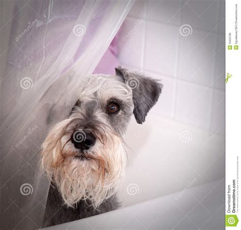 small gray dog in bath tub stock photo image of inside 18452786