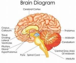 Draw A Diagram Showing Sectional View Of Brain  Label Its