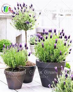 Schopf Lavendel Tee : lavendel samen deaflora lavendel mademoiselle samen ~ Michelbontemps.com Haus und Dekorationen