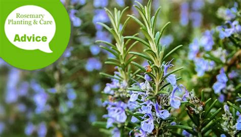 how to care for rosemary how to plant prune fertilize water rosemary in garden beds pots wilson bros gardens