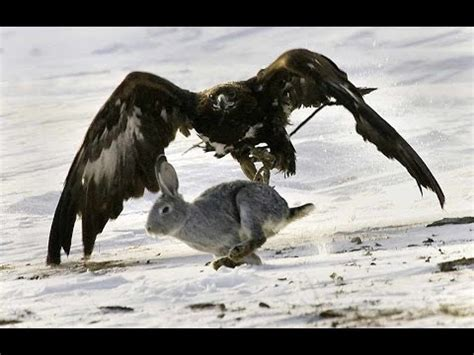 golden eagle  rabbit epic hunting attack  hd youtube