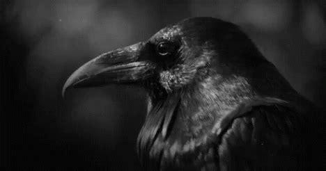 raven bird gif raven bird corvid discover share gifs