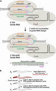 Dramatic Enhancement Of Genome Editing By Crispr  Cas9