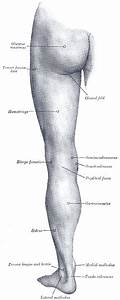 Lower Limb Surface Anatomy  Posterior Aspect