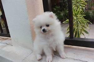 LovelyPuppy: 20131023 Mini White Pomeranian Puppy