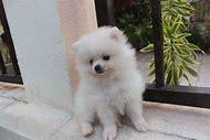Mini White Pomeranian Puppies