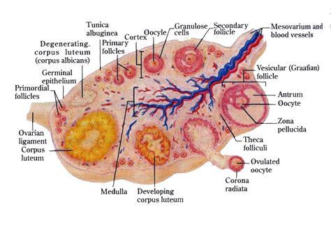 Ovary Diagrams To Print Diagram Site