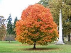 Acer saccharum Acersac...Sugar Maple Tree