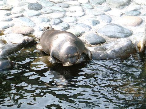 Baikal Seal Wikipedia